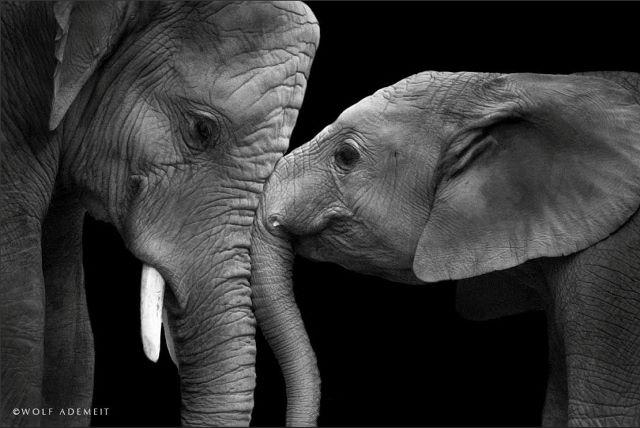 Η τρυφερή και συναισθηματική πλευρά των ελεφάντων